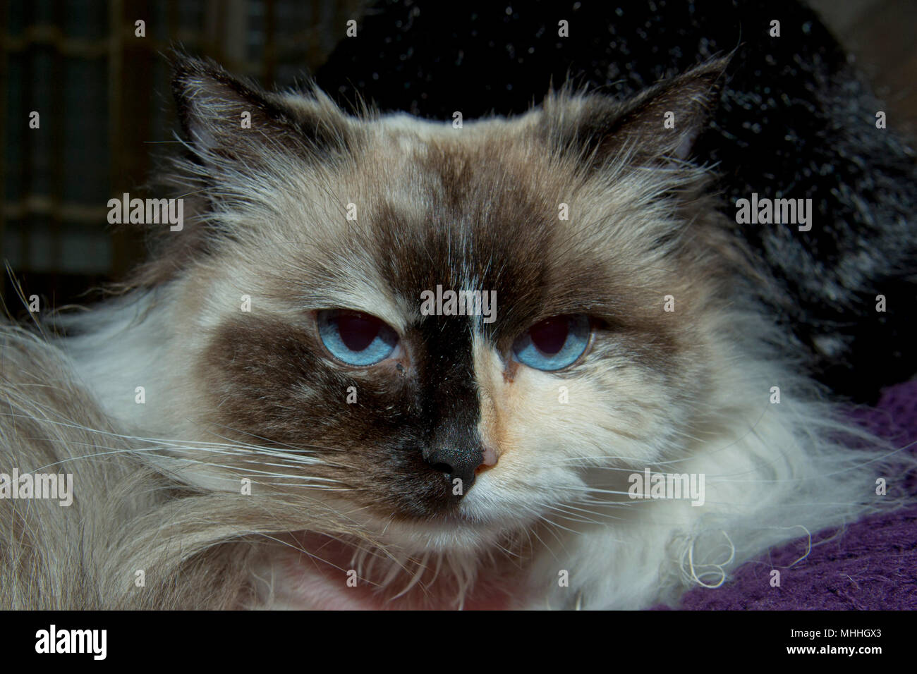 blue eyes white and black ragdoll cat portrait stock photo