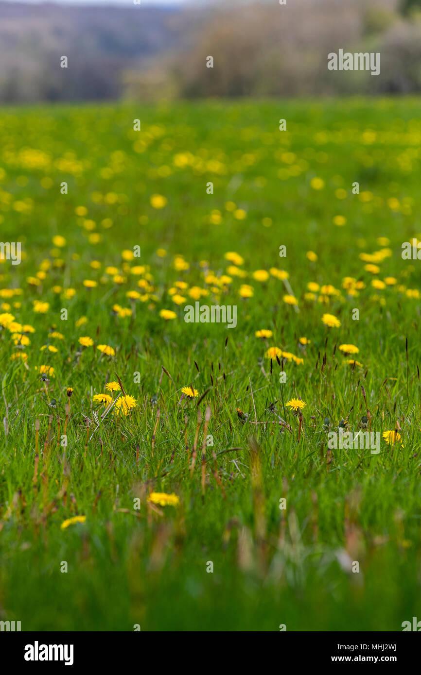 Vivid Yellow Spring Flowers In The Dandelion Field Beloved By Honey