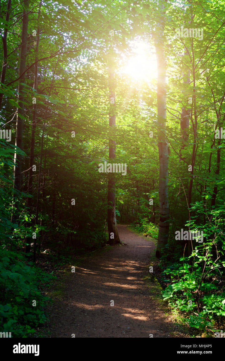 The sun shining through the trees in the Haunted Woods in PEI National Park, Prince Edward Island, Canada. - Stock Image