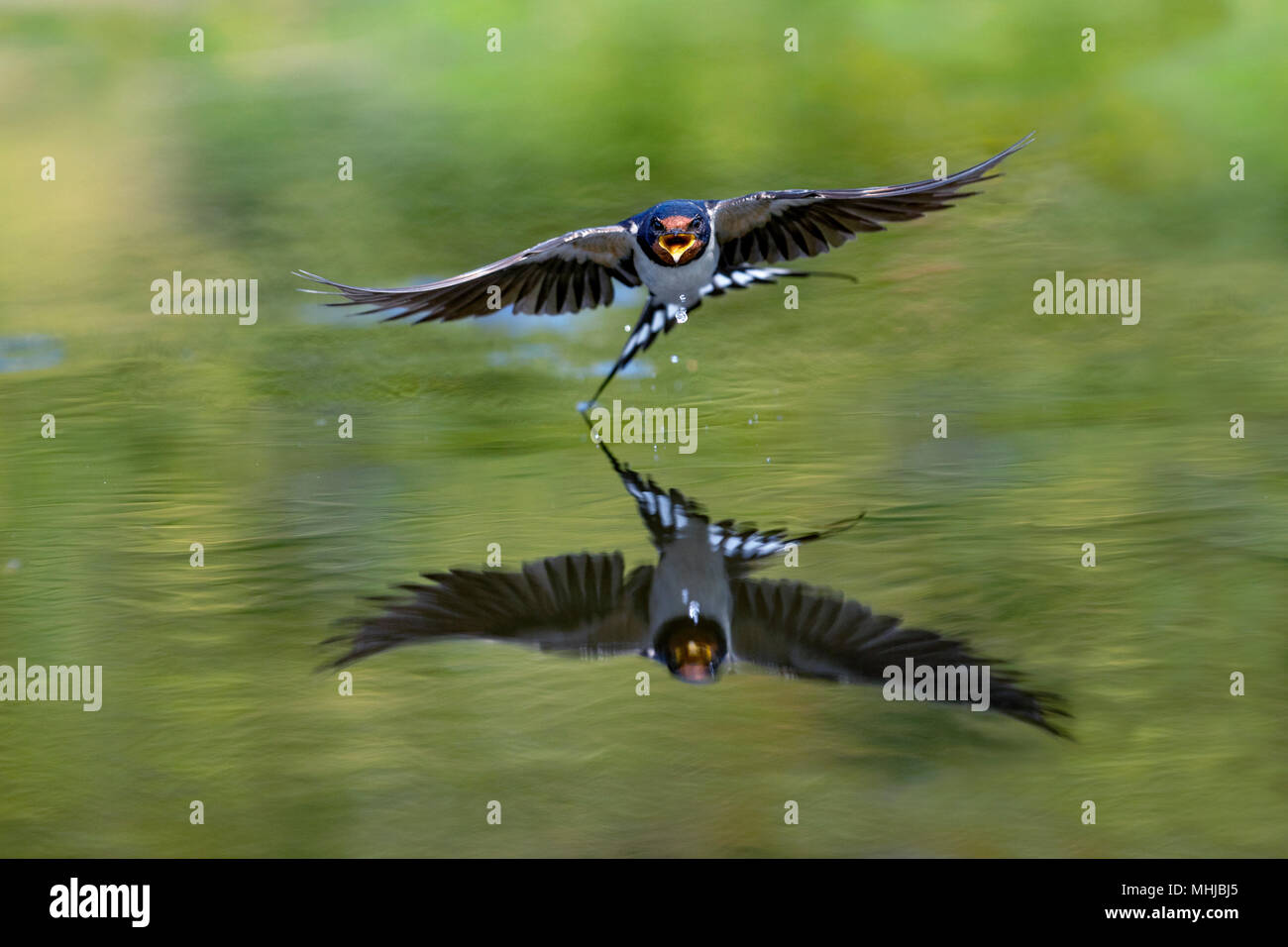 Swallow; Hirundo rustica Single Flying over Pond Cornwall; UK Stock Photo