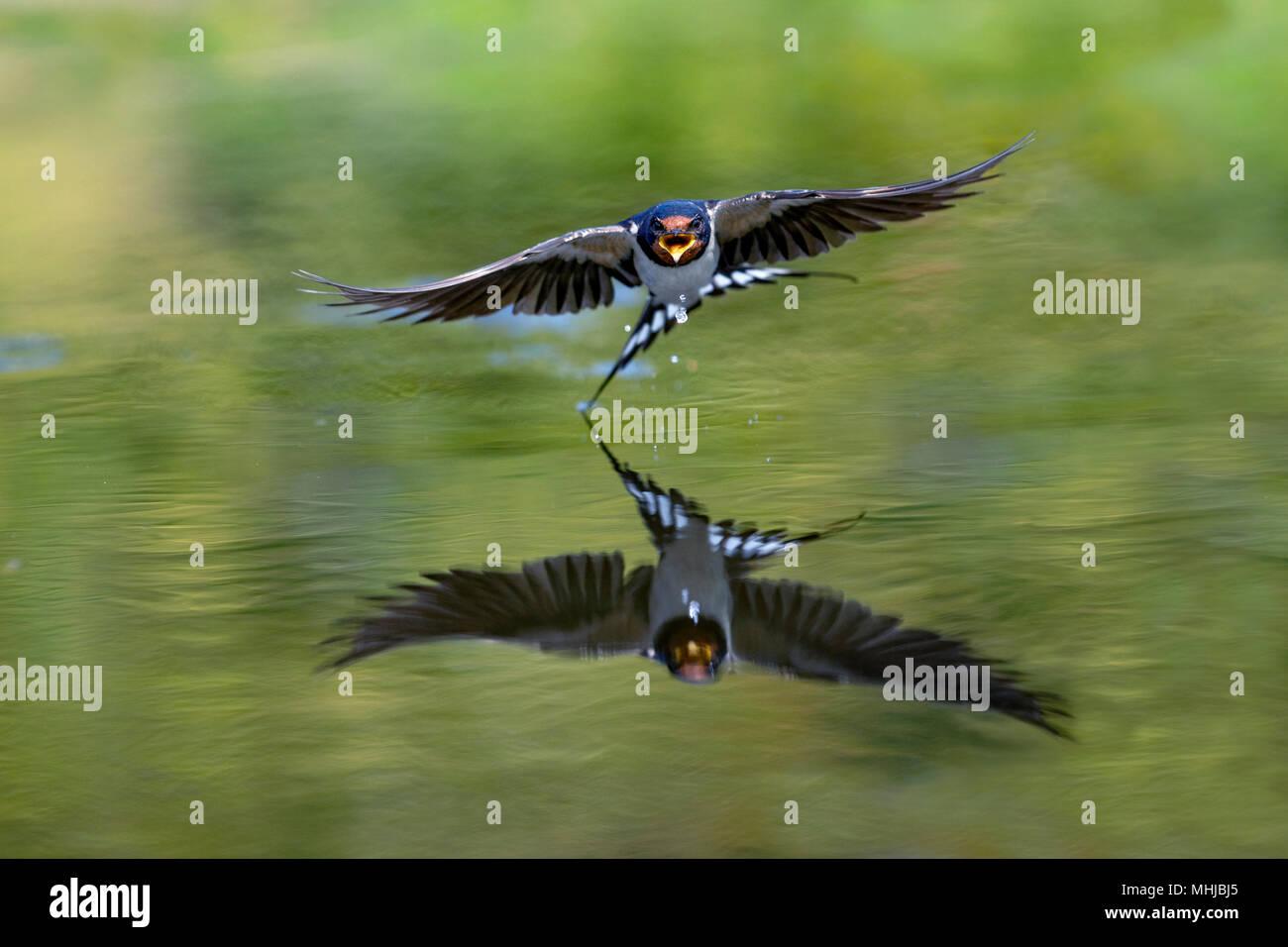 Swallow; Hirundo rustica Single Flying over Pond Cornwall; UK Stock Photo