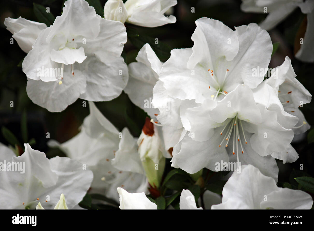 Close Up Of Multiple Blooming White Autumn Angel Encore Azalea
