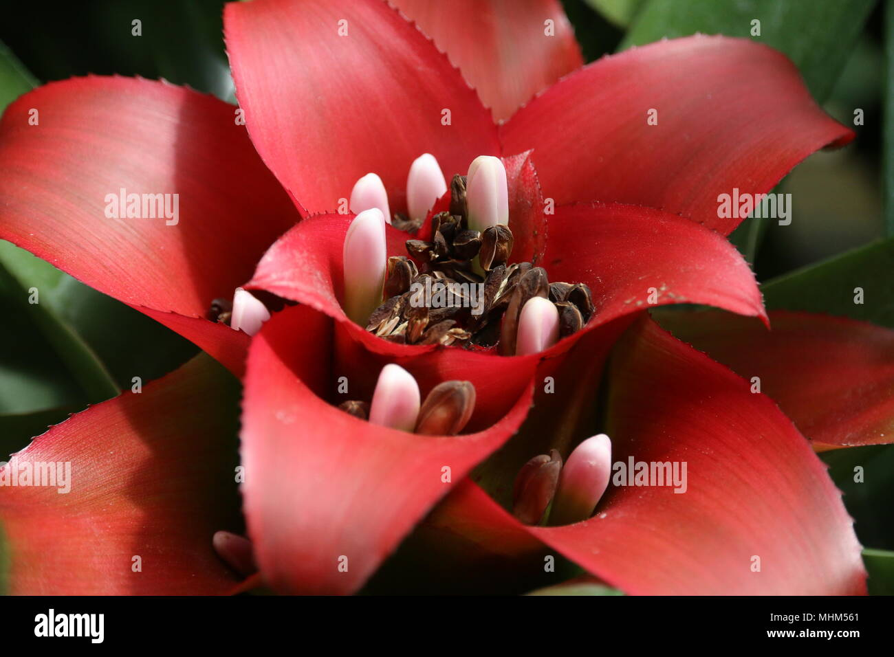 Beautiful Red Tropical Cactus Flowers Stock Photo 182995961 Alamy