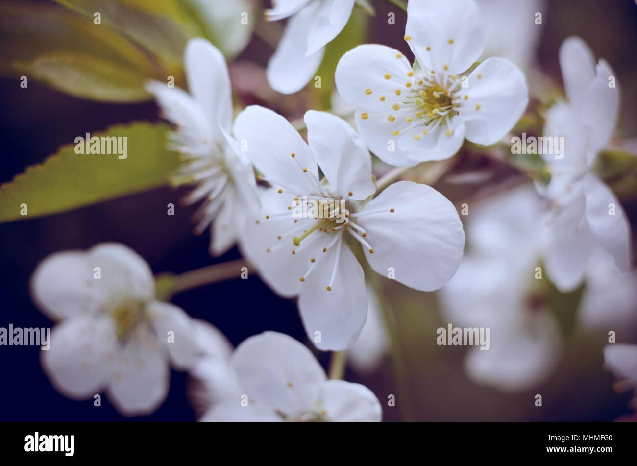 Cherry Tree Blossoms White Spring Flowers Close Up Soft Focus
