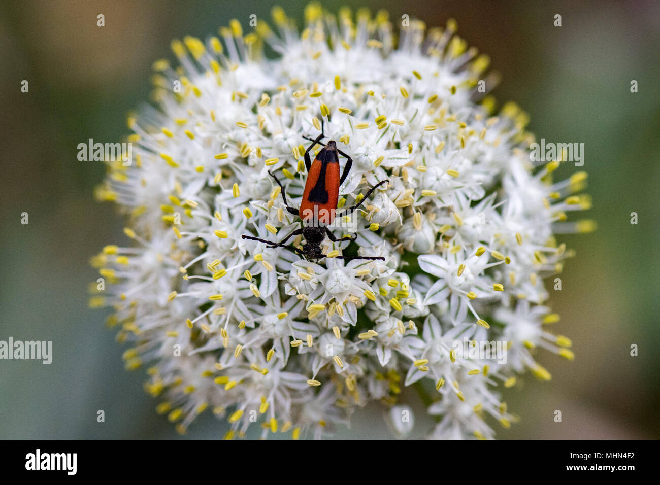 Red and black beatle on yellow and whwite onion flower background red and black beatle on yellow and whwite onion flower background mightylinksfo