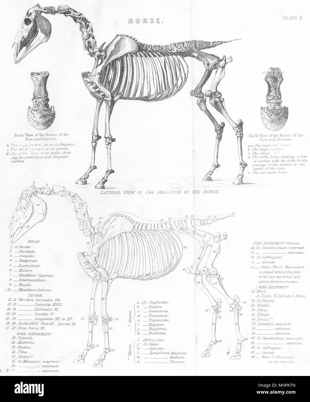 ANATOMY. Horse; Lateral view of the Skeleton of the Horse 1880 old ...