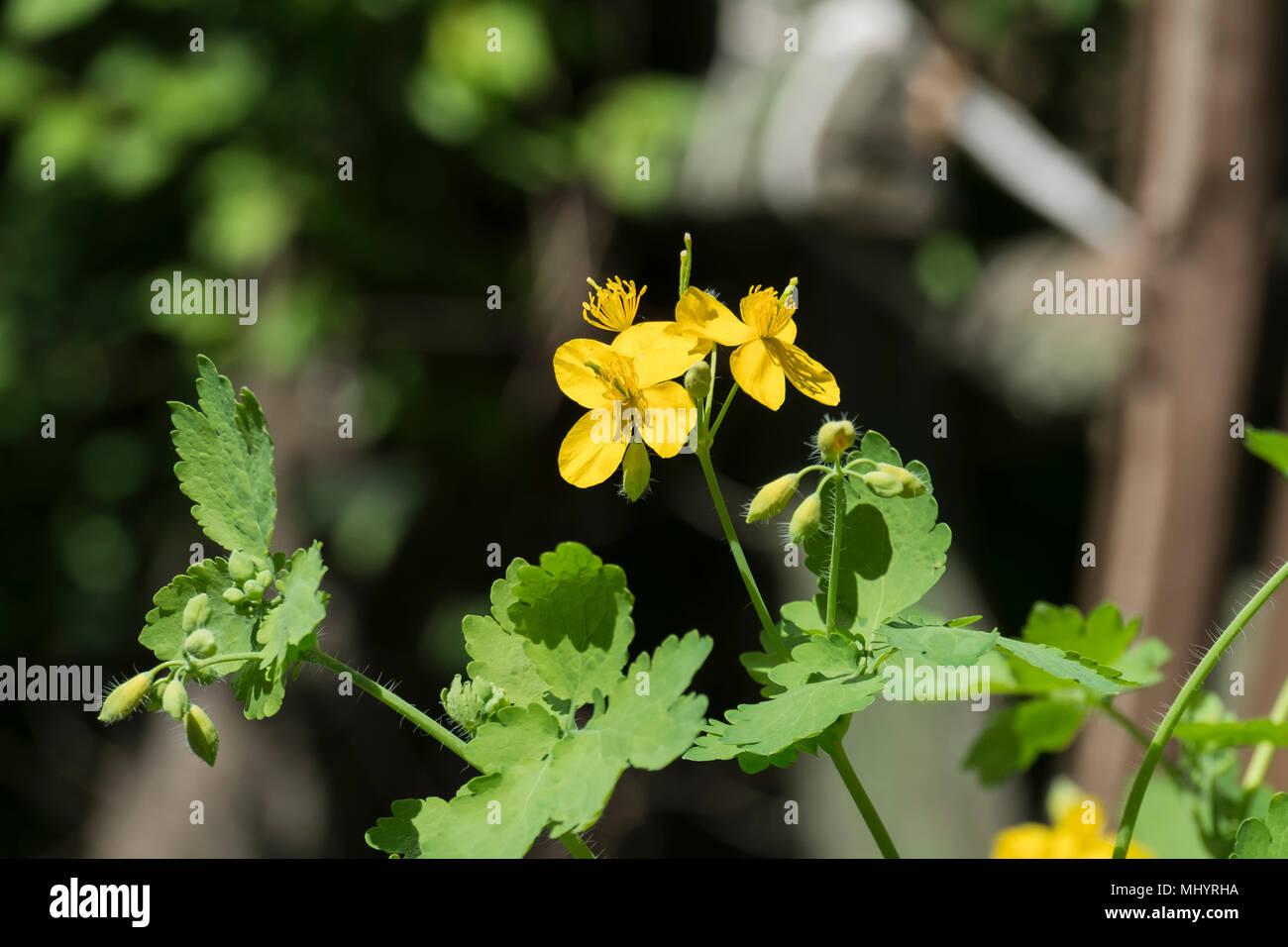 Medicinal herbs bright yellow flowers greater celandine medicinal herbs bright yellow flowers greater celandine chelidonium majus mightylinksfo