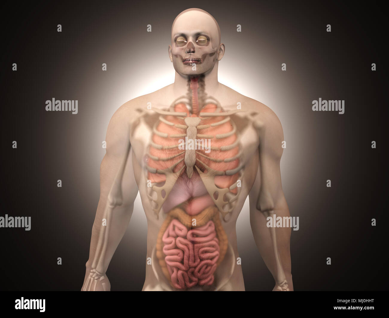 3d Visualization Of The Human Anatomy The Internal Organs In A Semi