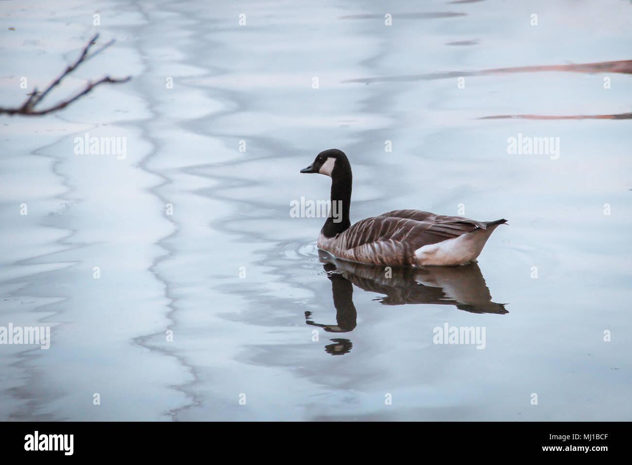 canada goose belgium