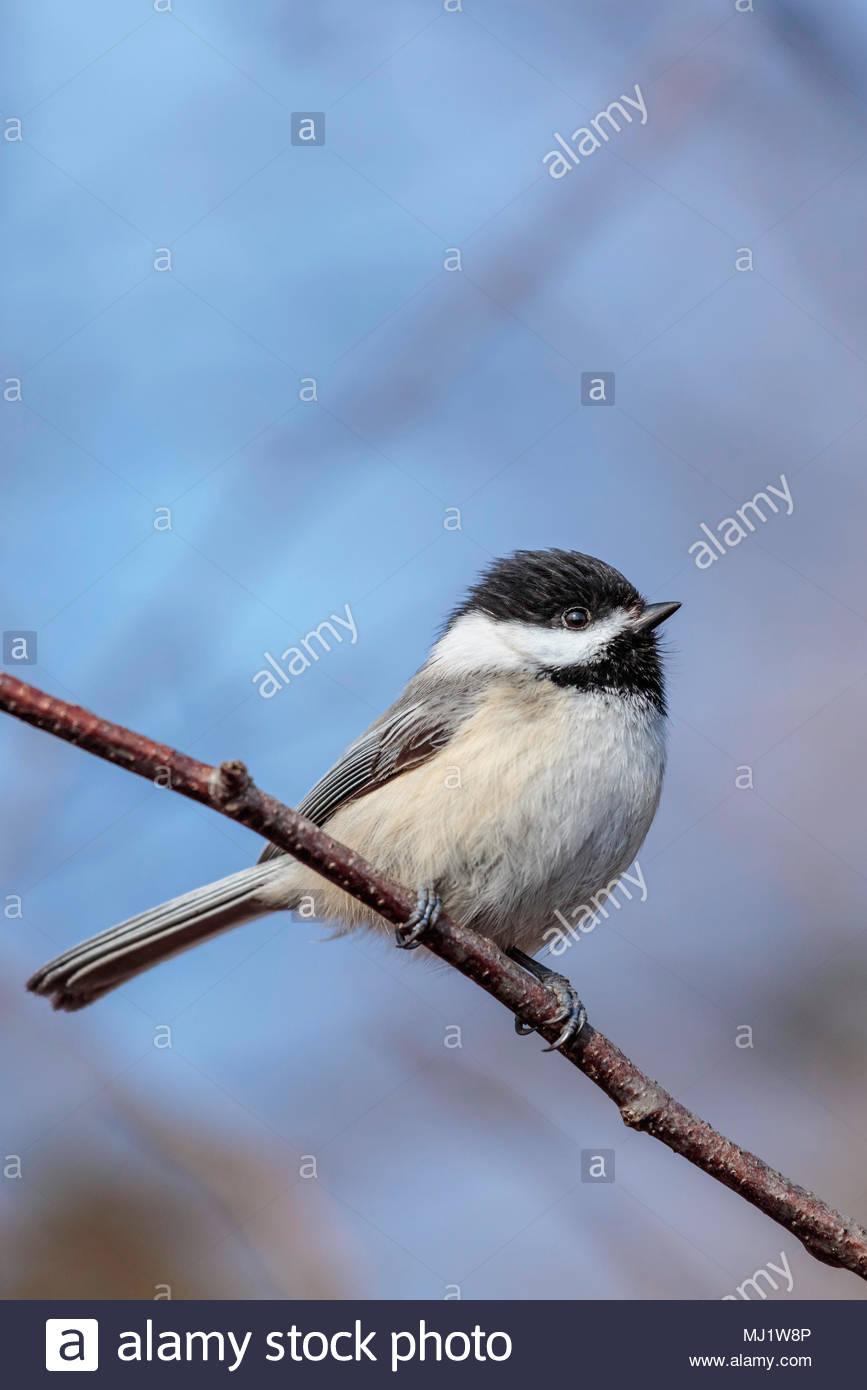 black-capped-chickadee-poecile-atricapil