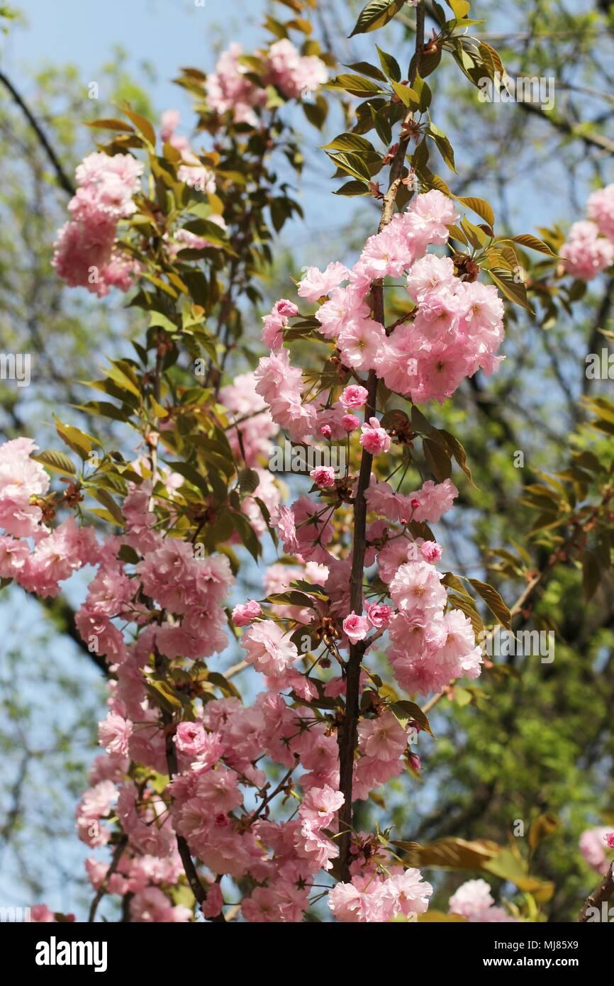 Pink Flowers Of Japanese Cherry Tree Prunus Serrulata Stock Photo