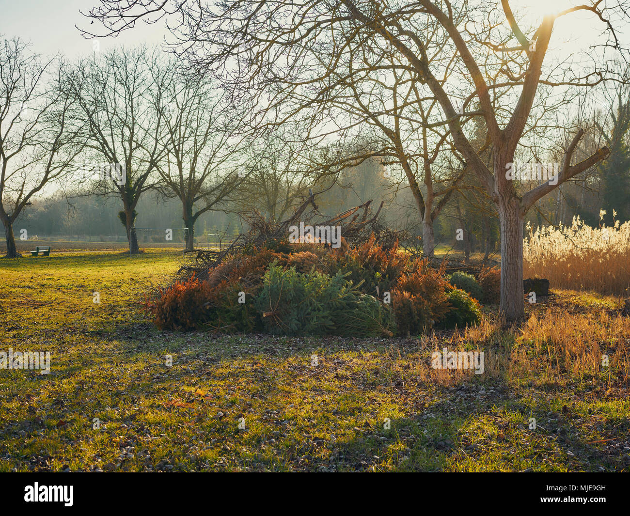 pile of old christmas trees on a meadow trees in the evening sunlight - What To Do With Old Christmas Trees