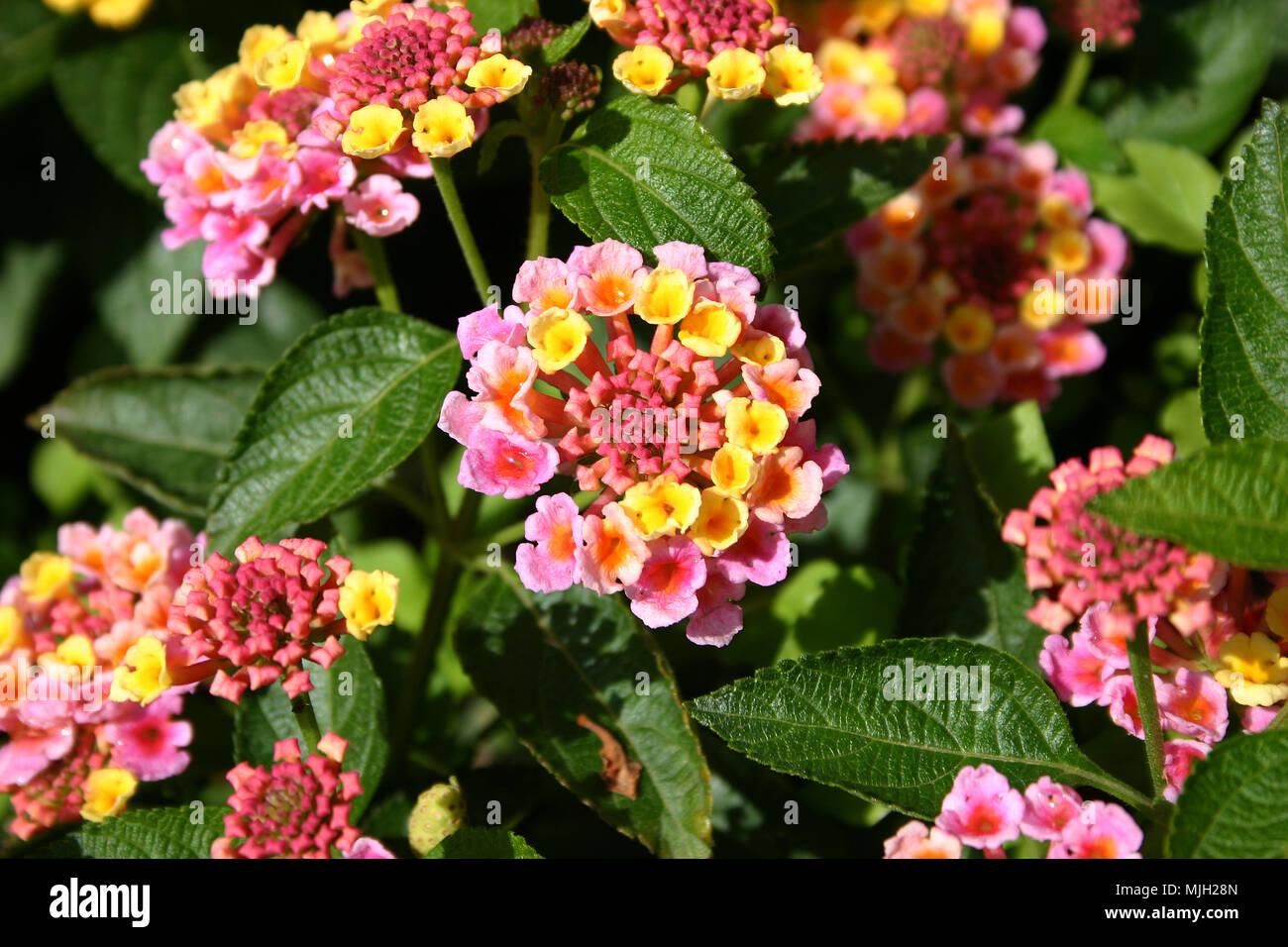 Pink And Yellow Lantana Flowers Stock Photo 183542485 Alamy