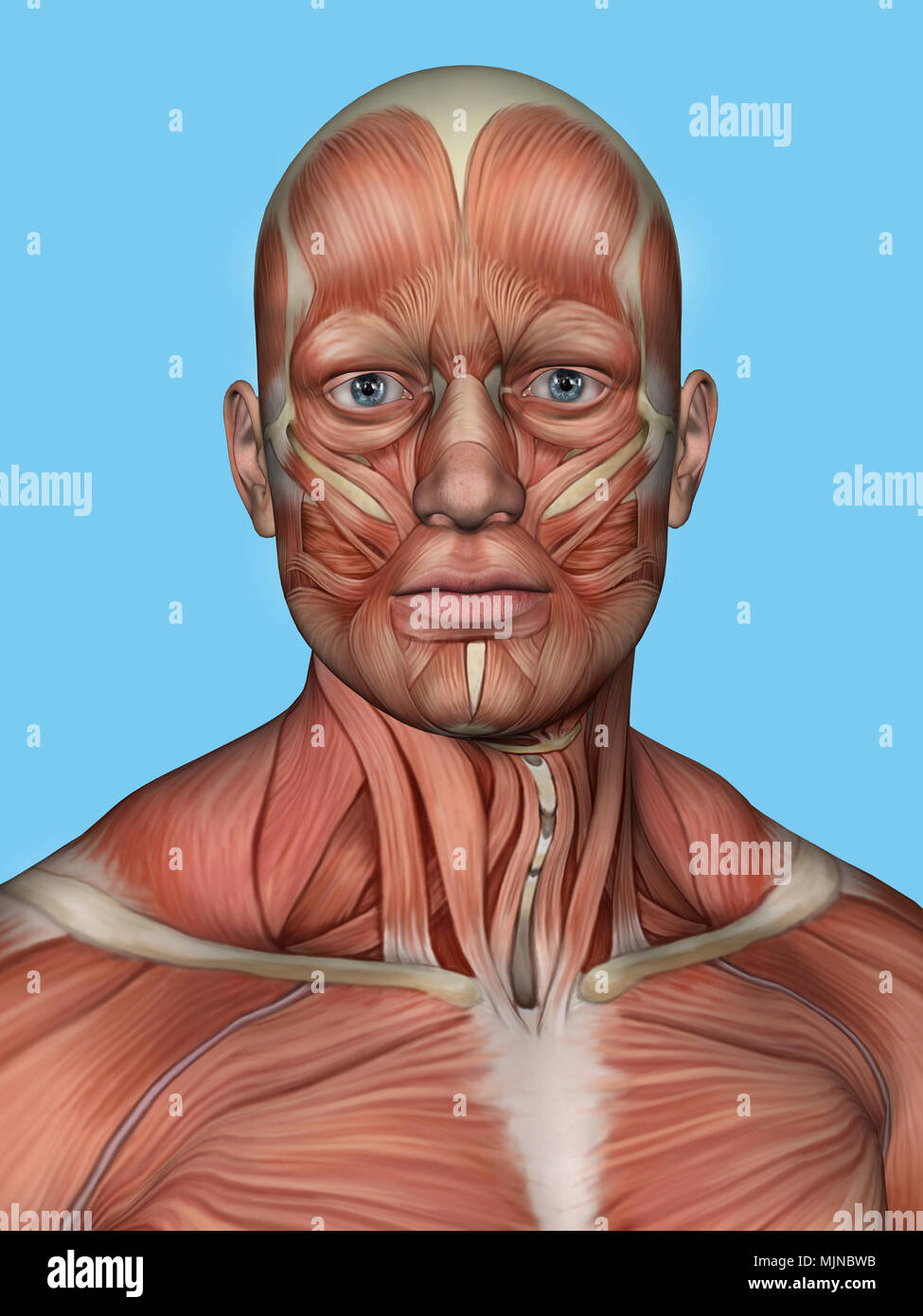 Anatomy Front View Of Major Face Muscles Of A Man Stock Photo