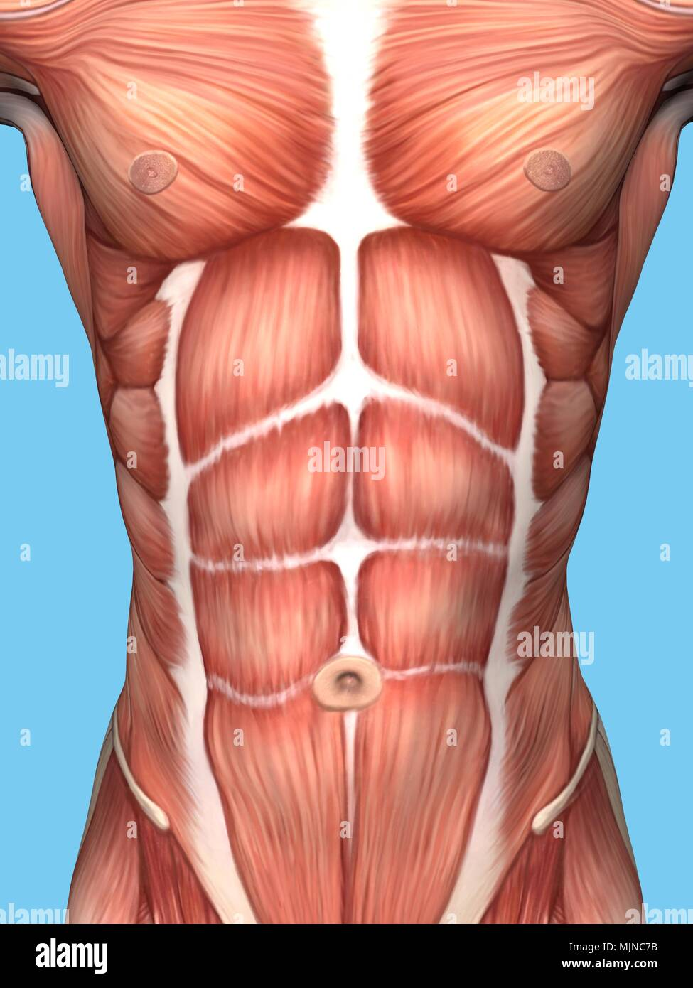 Anatomy of male chest and torso featuring major muscular groups ...