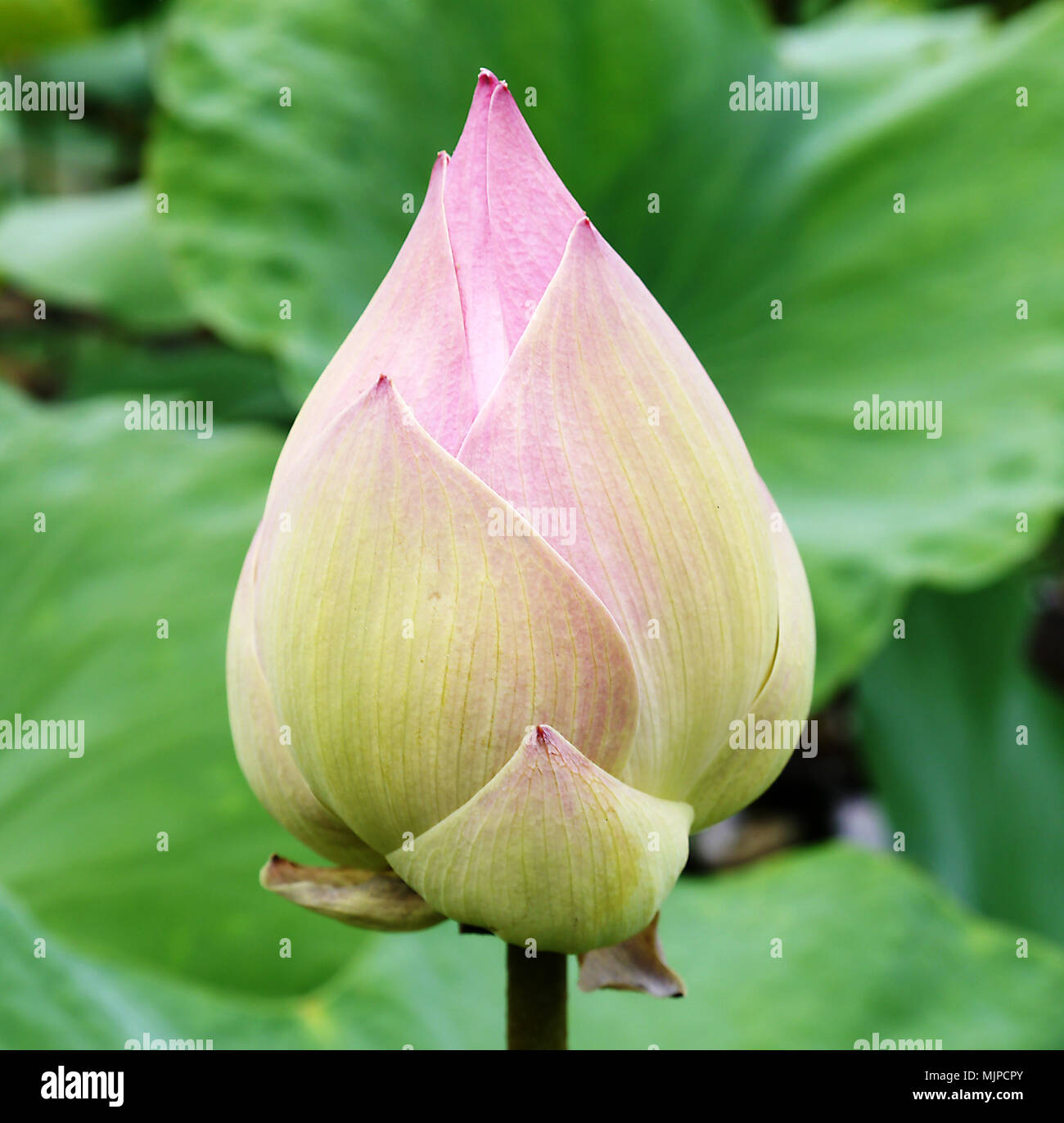 The Lotus Is National Flower For Thailandindiakampuchea And Bengal