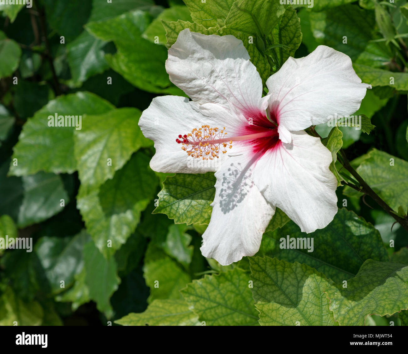 White And Red Hibiscus Flower On A Bush Showing Chlorosis Disease