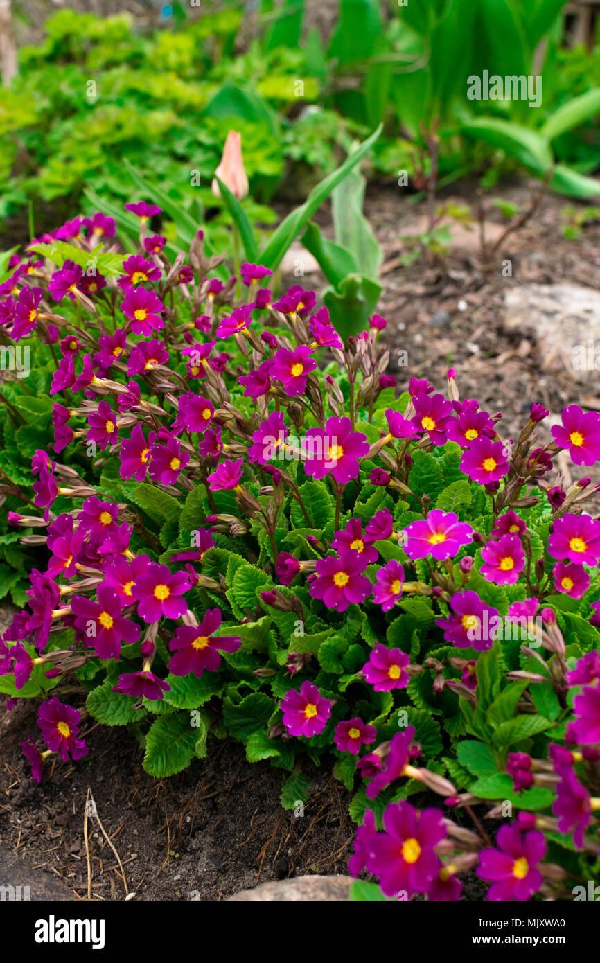 flowering pink primula primroses primula vulgaris bright pink perennial primrose or primula in the spring garden the beautiful colors primrose prim - Prim Garden