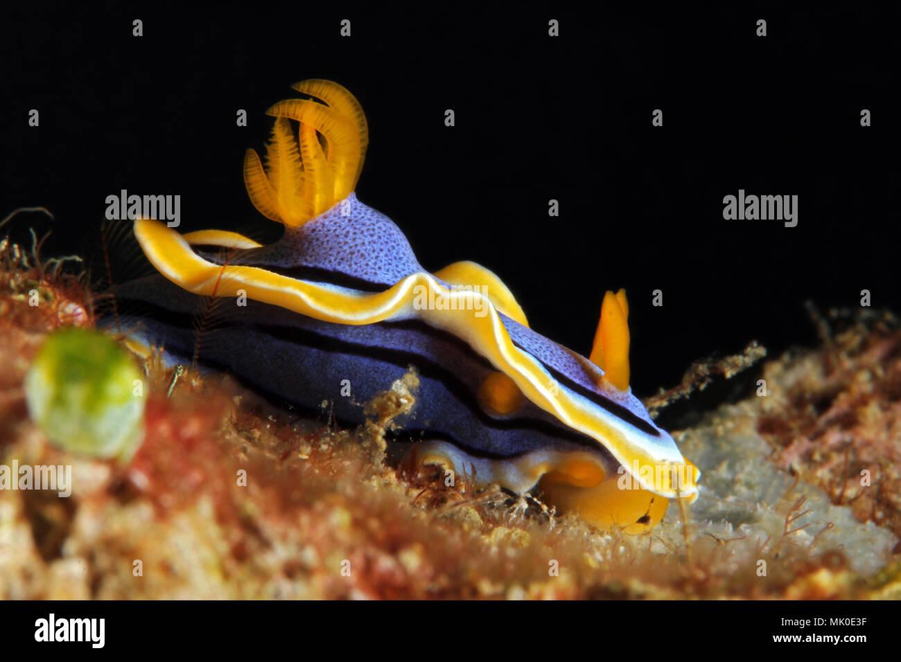 Chromodoris Annae Nudbranch. Anilao, Philippines - Stock Image