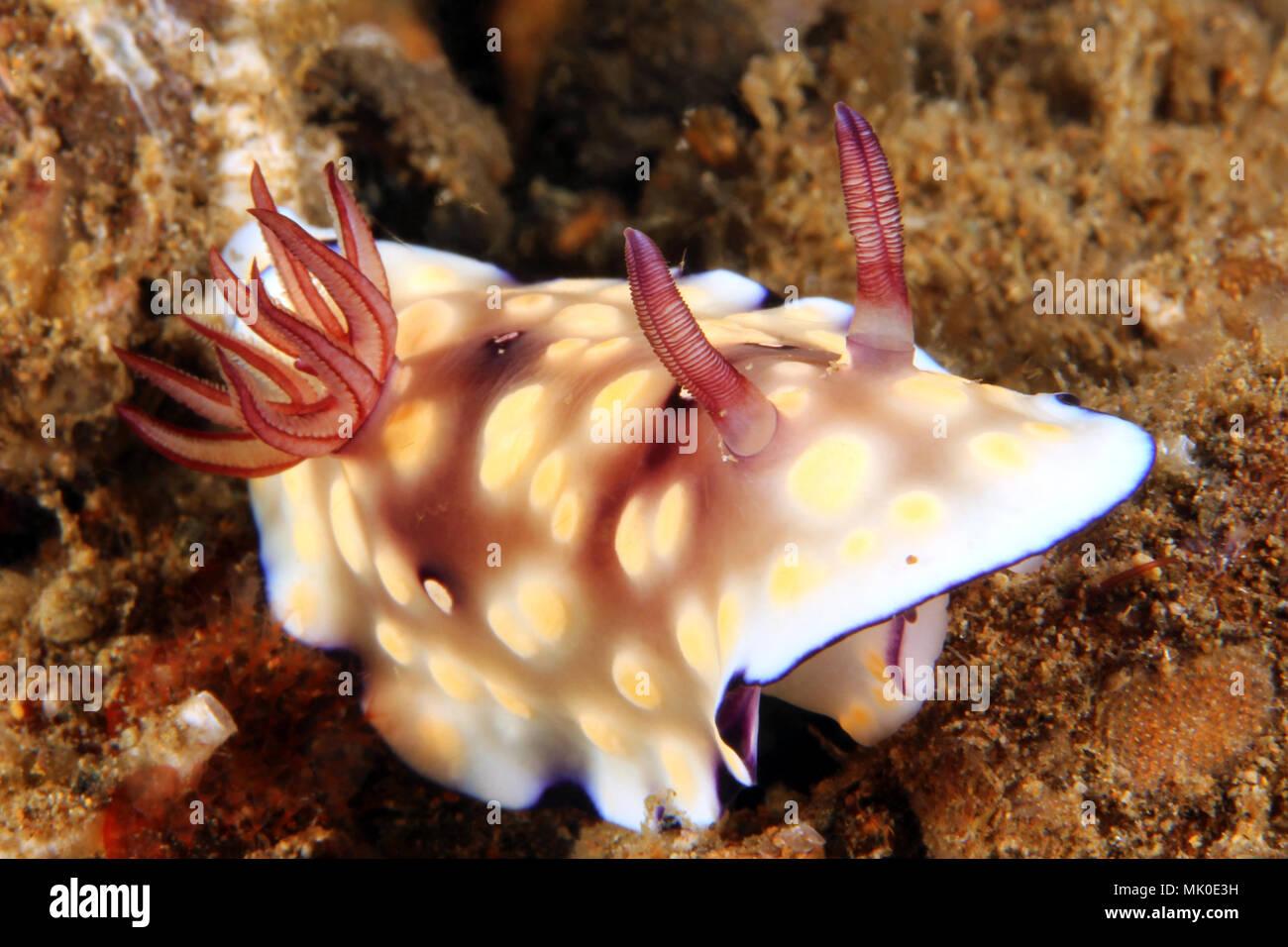 Goniobranchus Hintuanensis Nudibranch (Chromodoris hintuanensis). Anilao, Philippines - Stock Image