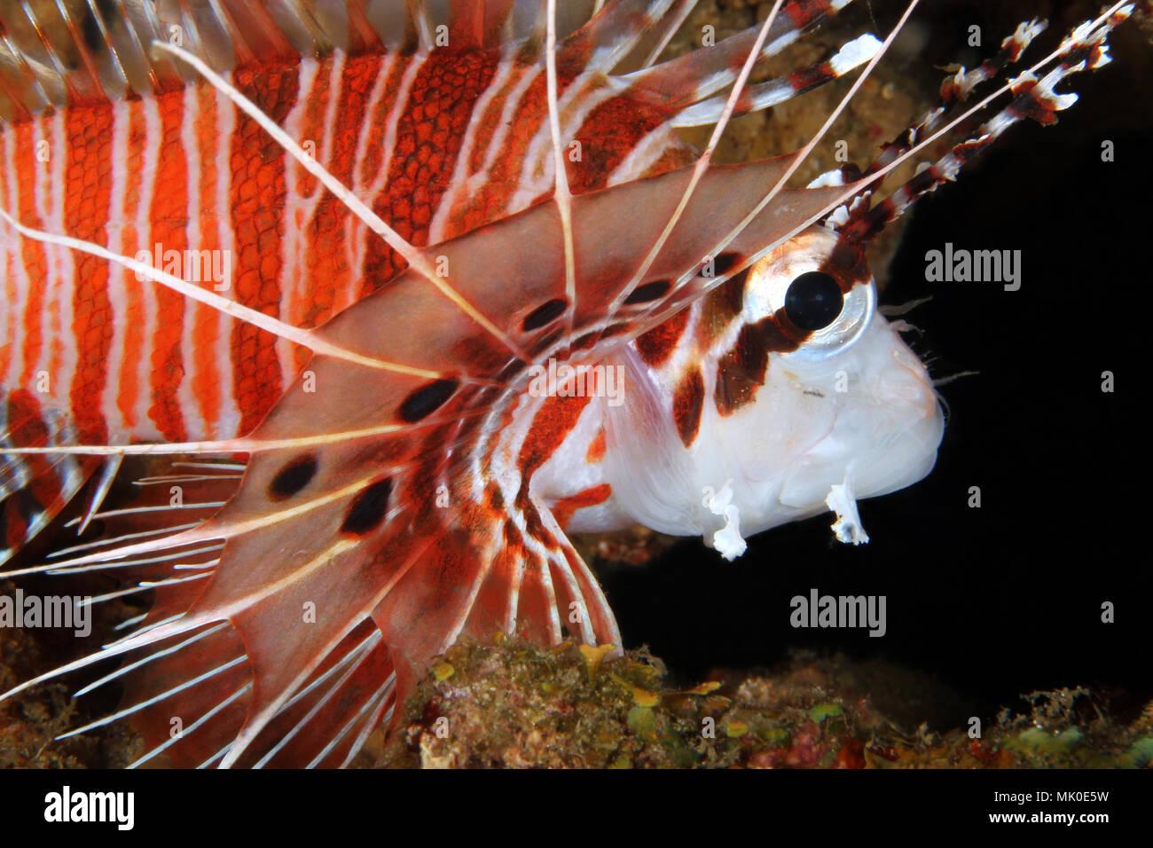 Spotfin Lionfish Close-up (Pterois antennata). Anilao, Philippines - Stock Image