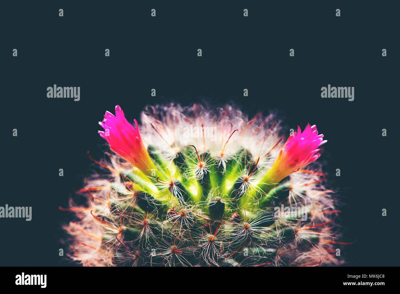 Beautiful Cactus Flower Blomming Isolated On Black Background Stock