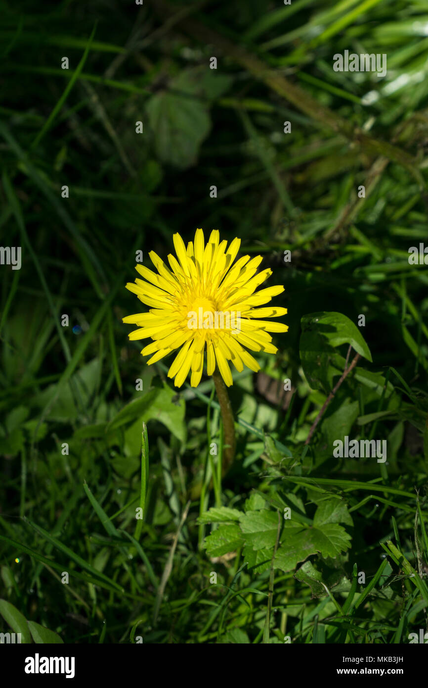 dandelion-flower-in-spotlight-MKB3JH.jpg
