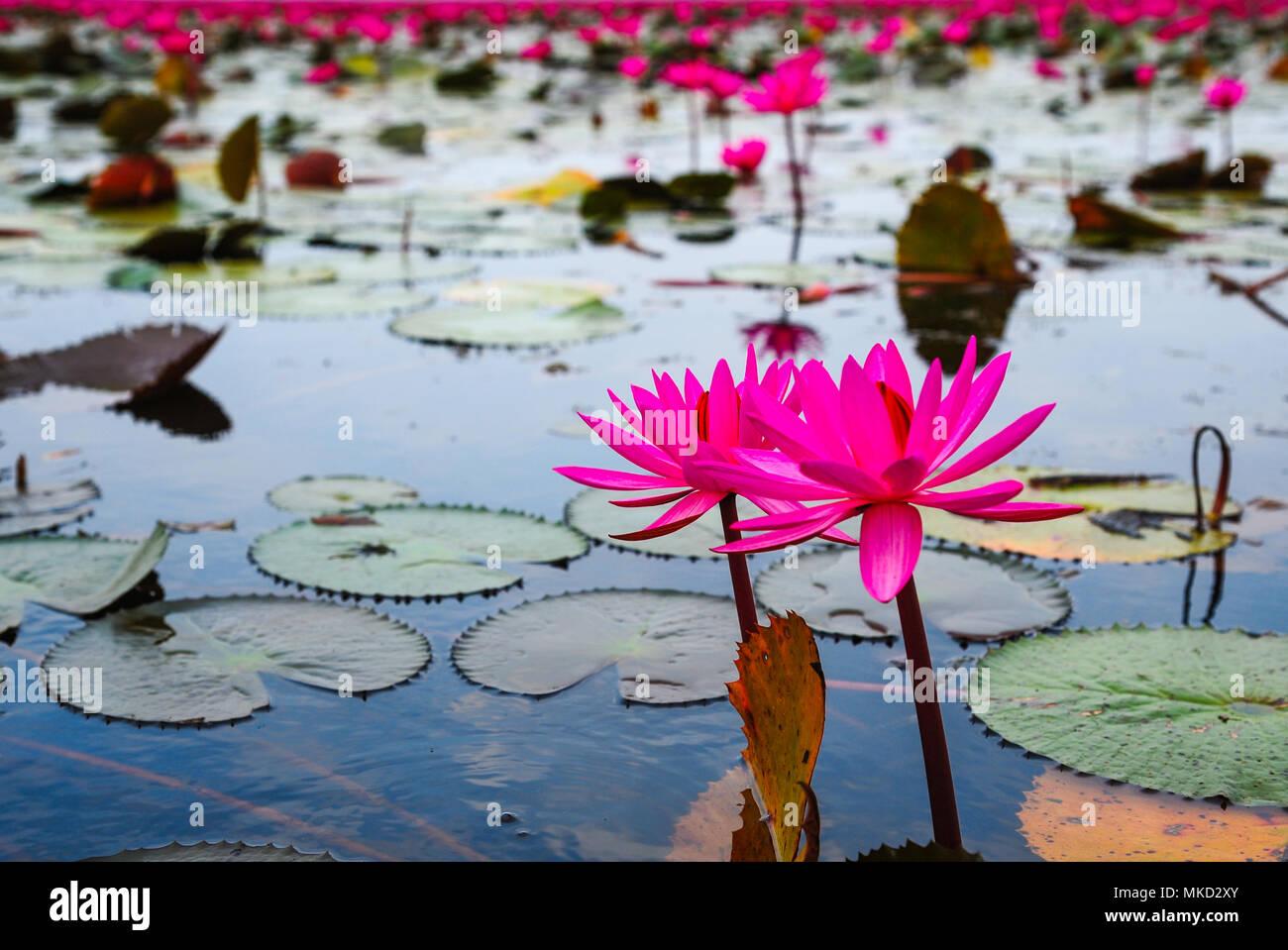 Beautiful Pink Lotus Flowers In Lake Of Lotus In Udon Thani
