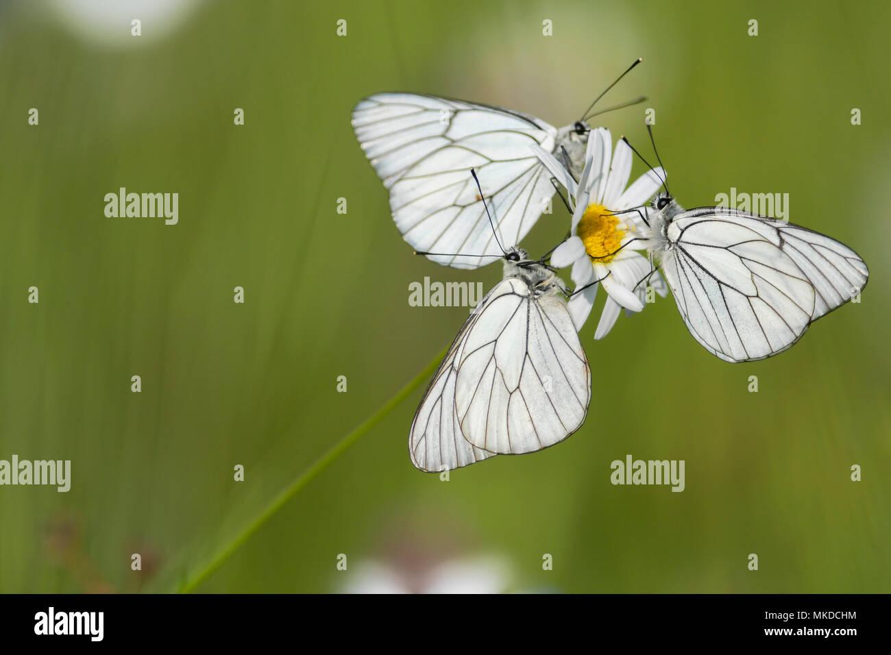 Chrysanthemum leucanthemum stock photos chrysanthemum leucanthemum black veined whites aporia crataegi on a flower of daisy in a wet izmirmasajfo Choice Image