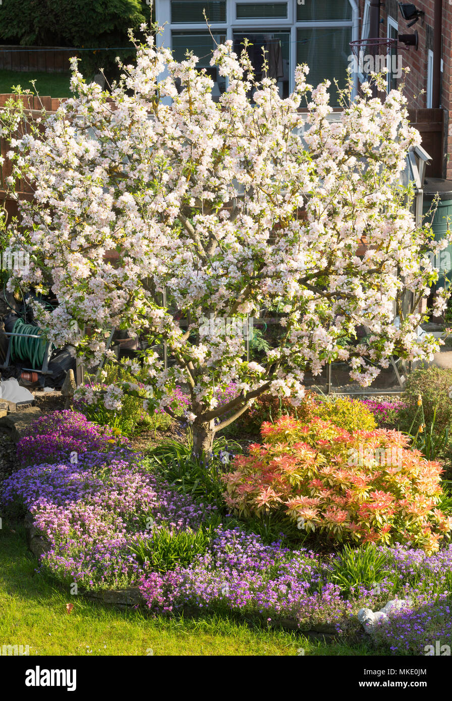 malus-domestica-egremont-russet-flowerin