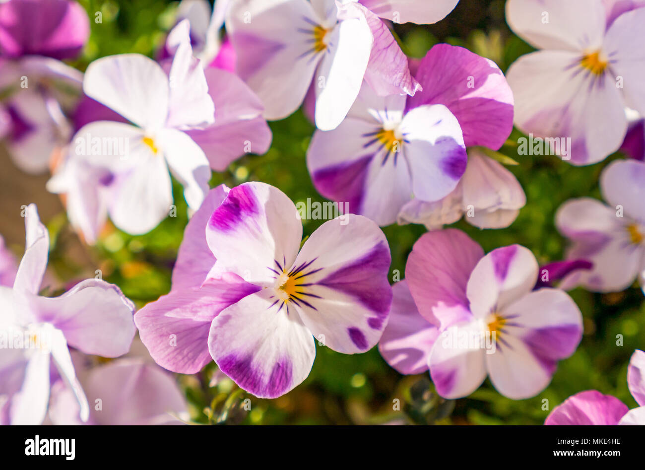 close-up-of-sunlit-pink-white-and-purple
