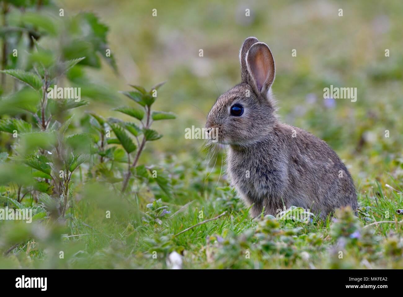 European rabbit (Oryctolagus cuniculus), Doubs valley, Franche-Comte, France - Stock Image