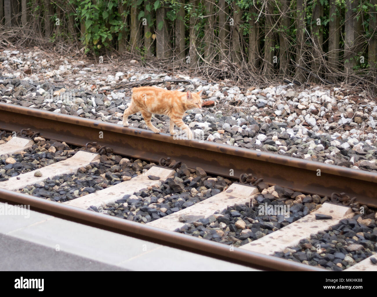 cat-walking-on-railway-line-tuscany-ital