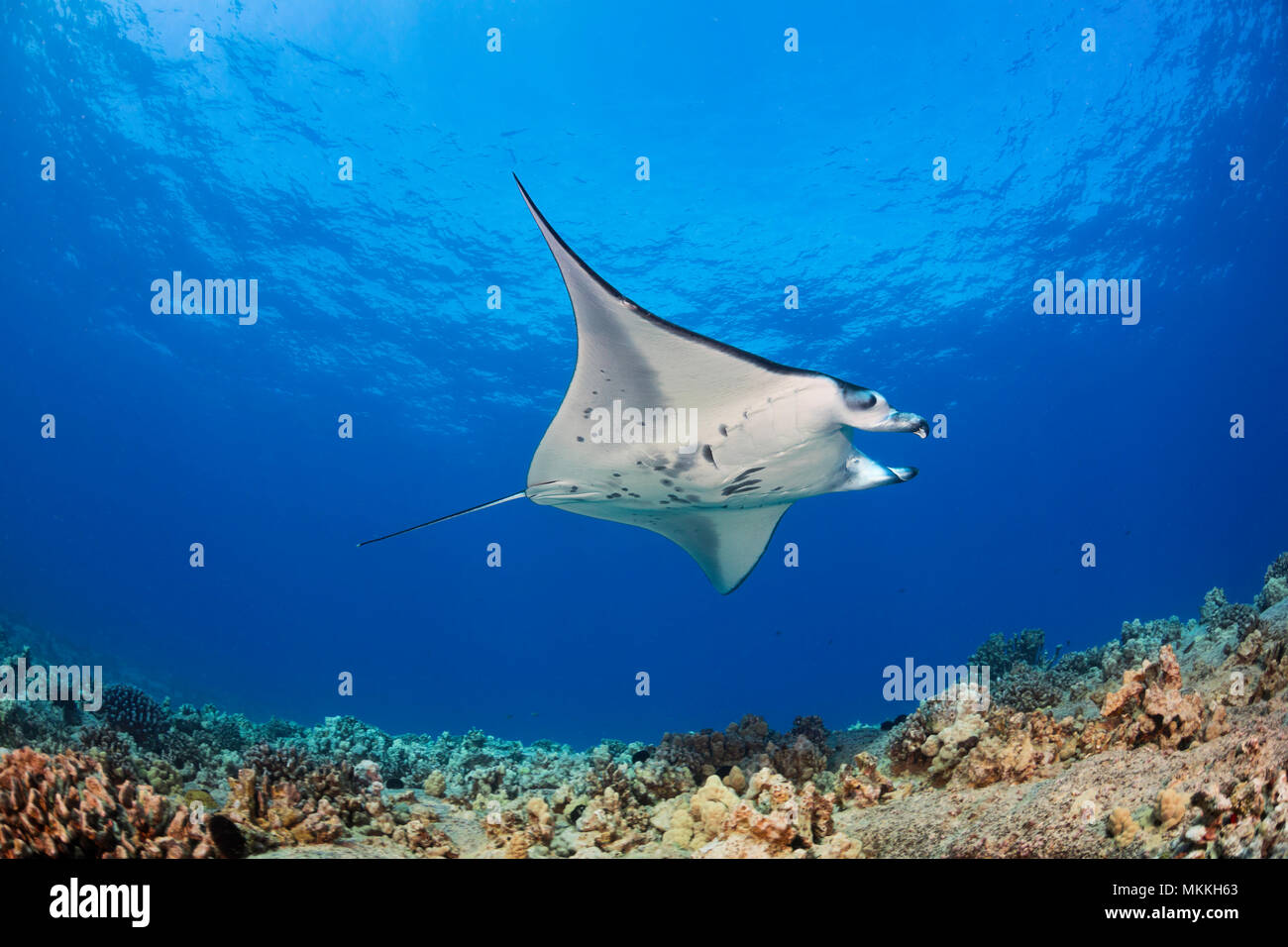 A reef manta ray, Manta alfredi, cruises over the shallows off the Kona Coast, Hawaii. This individual is not feeding and has curled up it's cephalic  Stock Photo