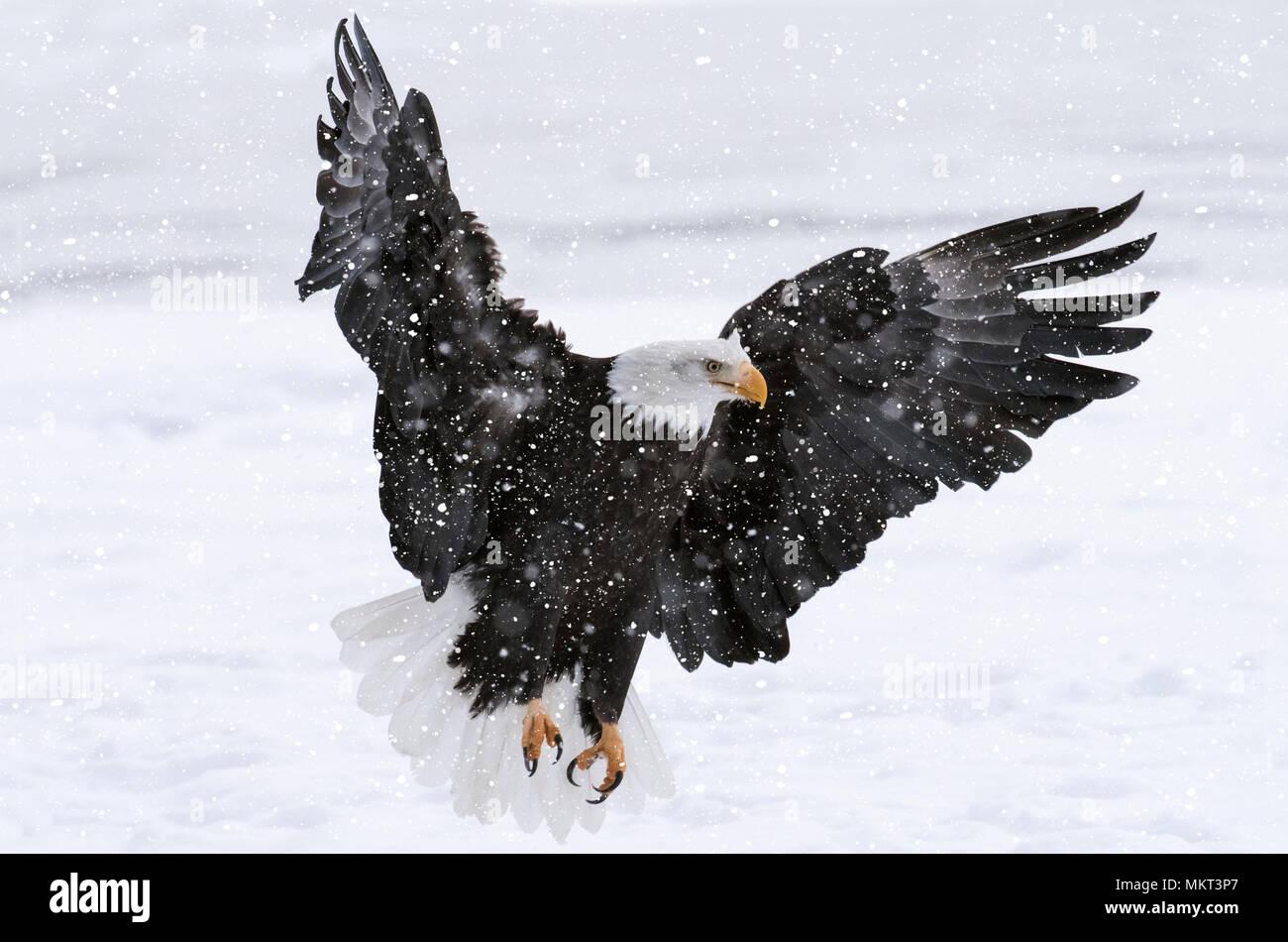 Bald Eagle Alaska American National Symbol Stock Photo 184311967