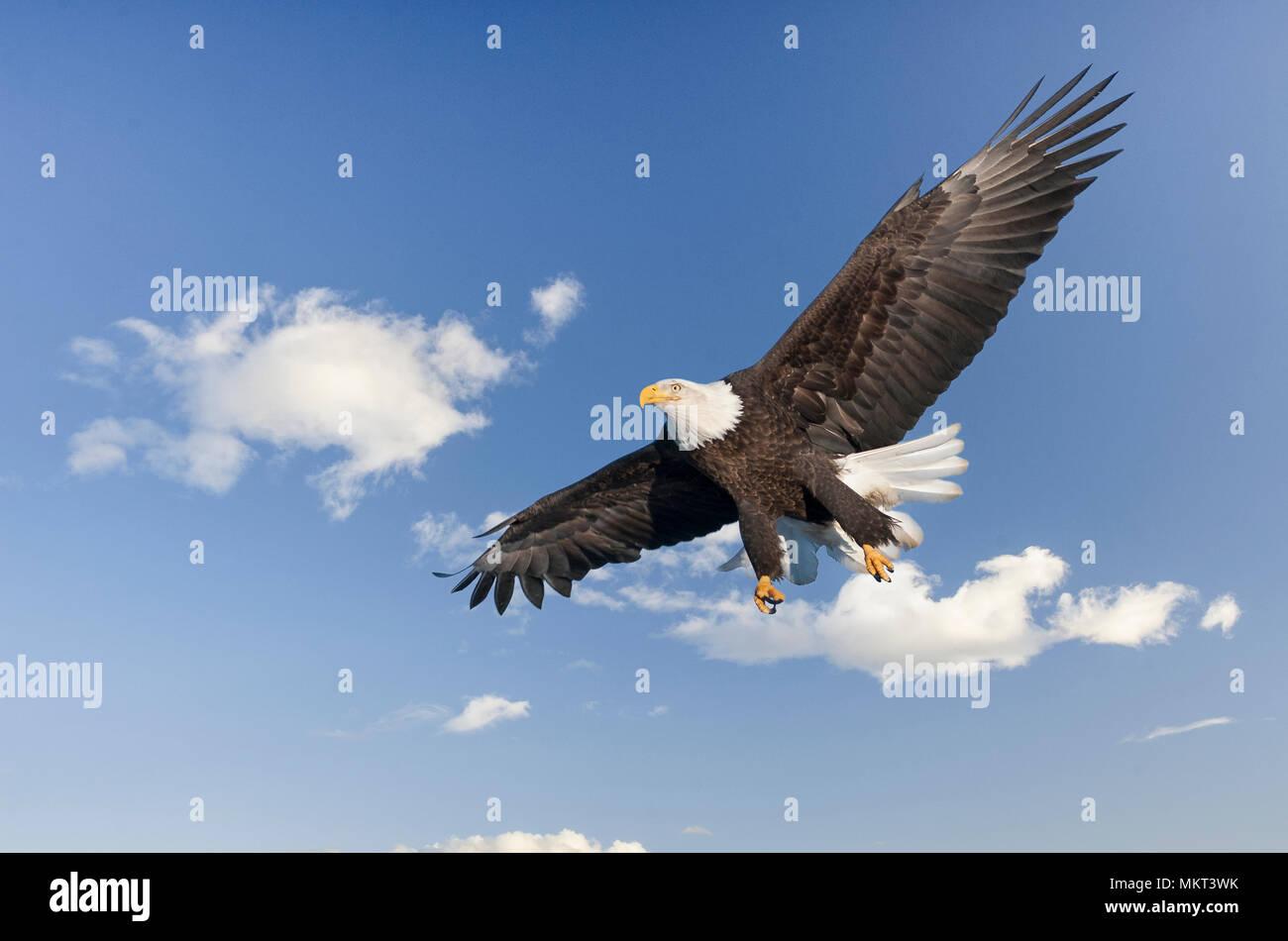 Bald Eagle Alaska American National Symbol Stock Photo 184312063