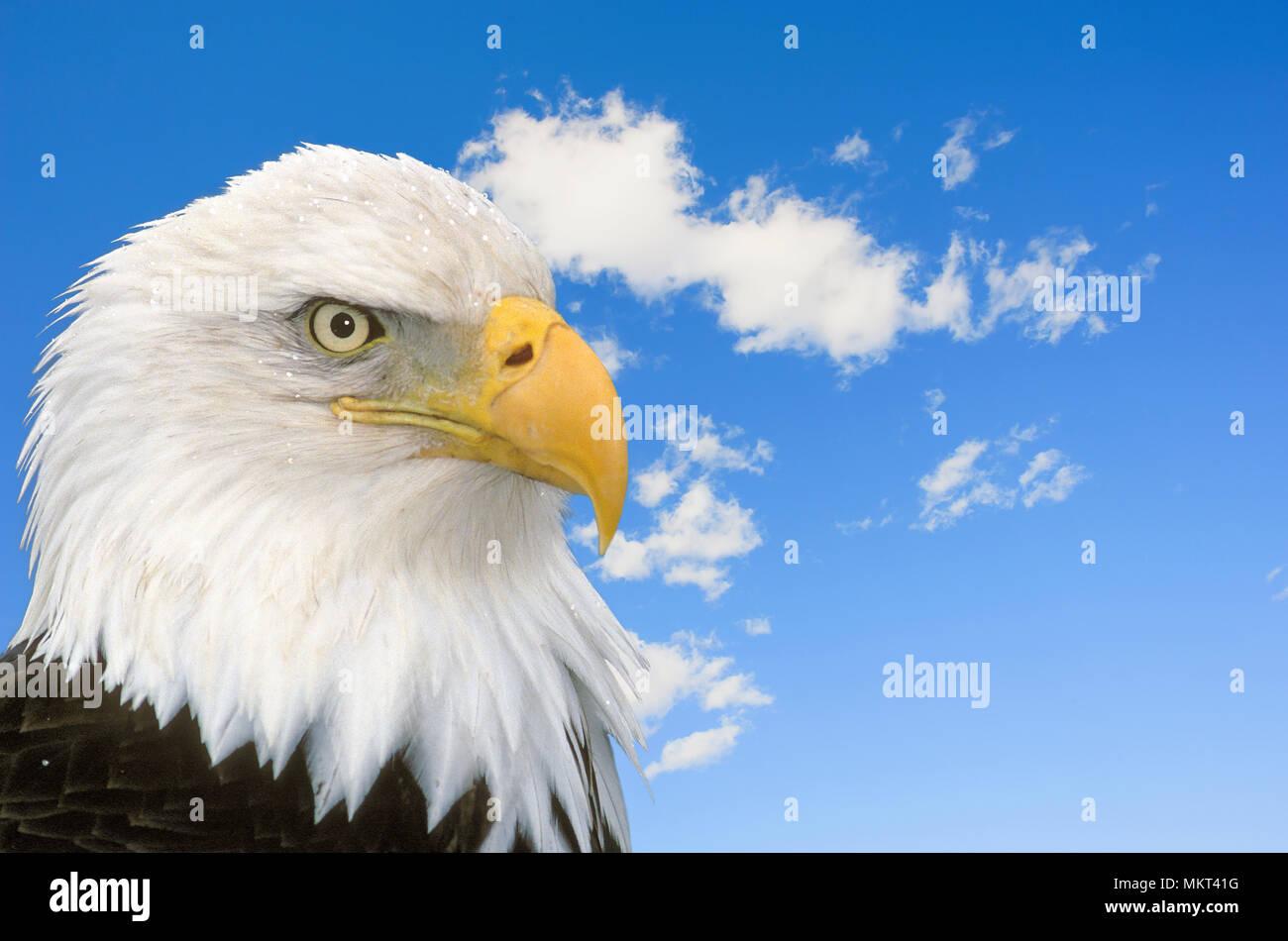 Bald Eagle Alaska American National Symbol Stock Photo 184312172