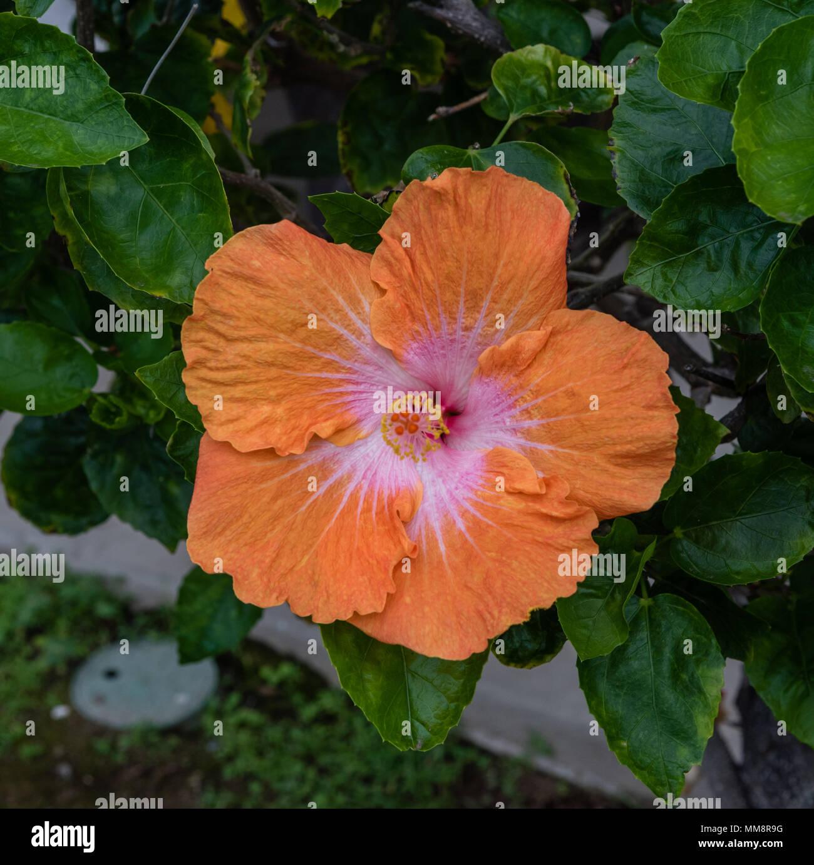 Orange hibiscus flower on the big island of hawaii stock photo orange hibiscus flower on the big island of hawaii izmirmasajfo