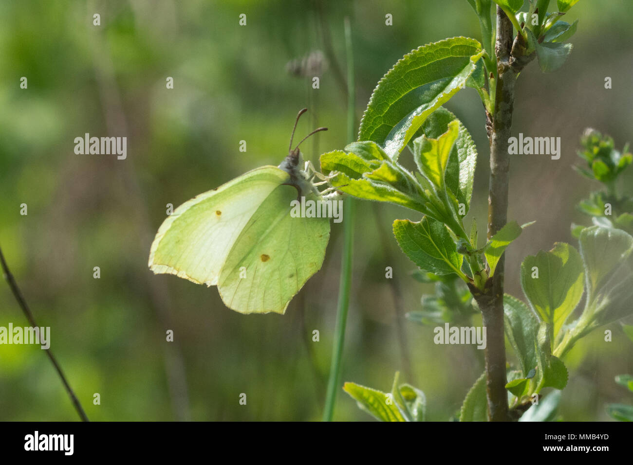 Brimstone butterfly (Gonepteryx rhamni) ovipositing (laying eggs) on alder buckthorn (Frangula alnus) in Hampshire, UK Stock Photo