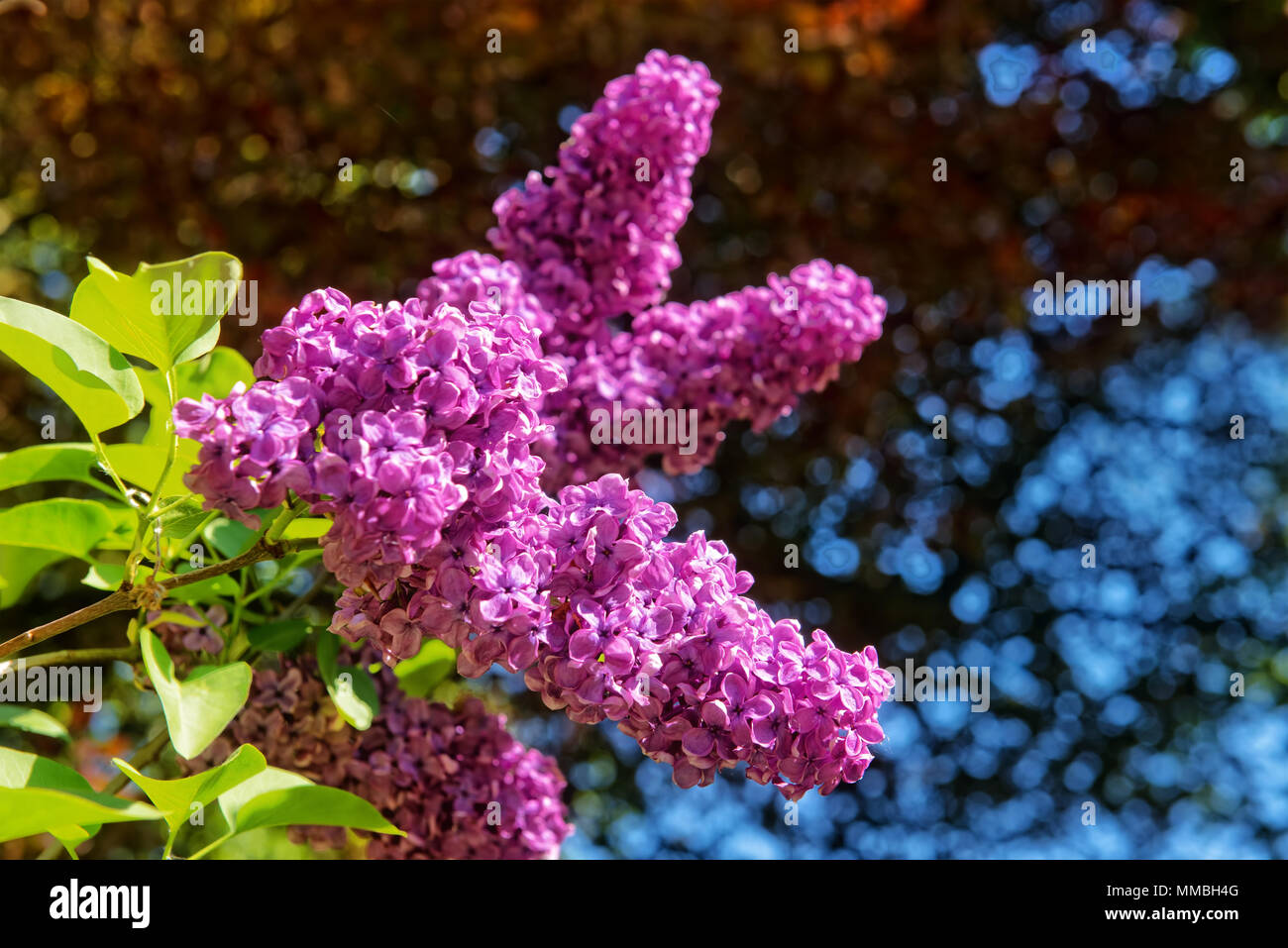 Flowers of lilac in sunny spring day on blue sky in city garden - Stock Image