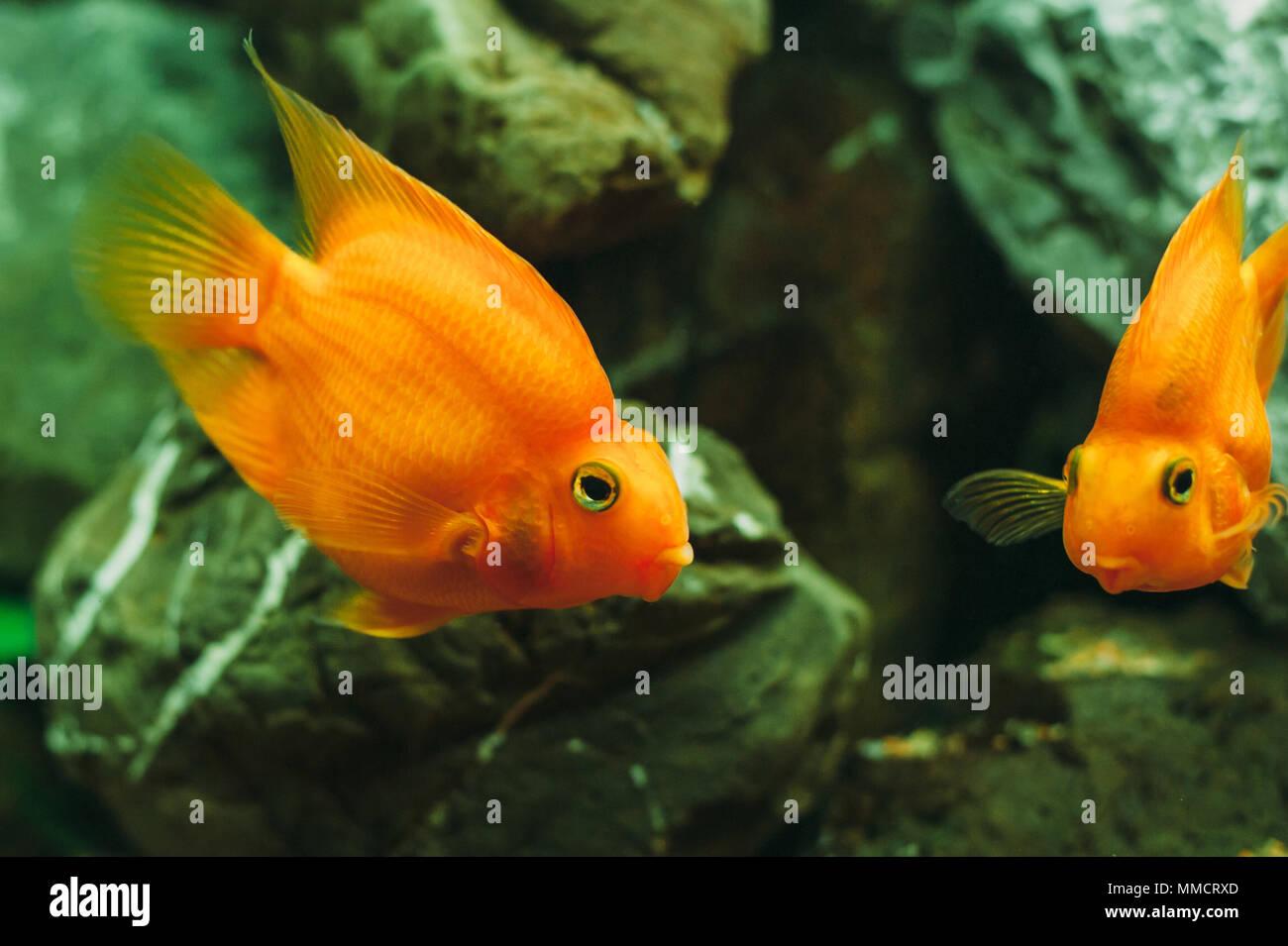 aquarium fish red parrot cichlid stock photo 184678997 alamy