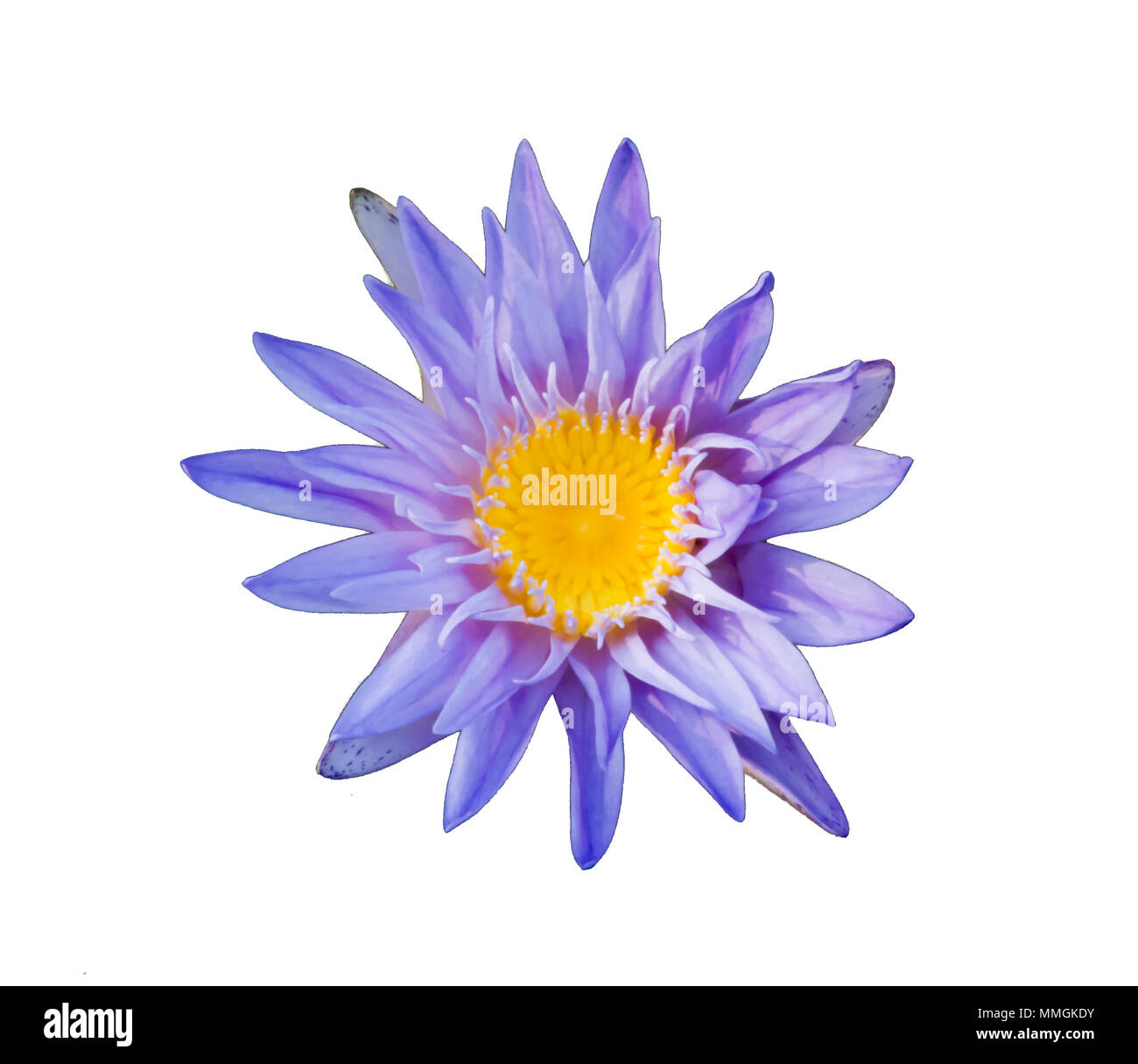 The lotus is national flower for thailandindiakampuchea and bengal the lotus is national flower for thailandindiakampuchea and bengal lotus flower in asia is a important culture symbol mightylinksfo