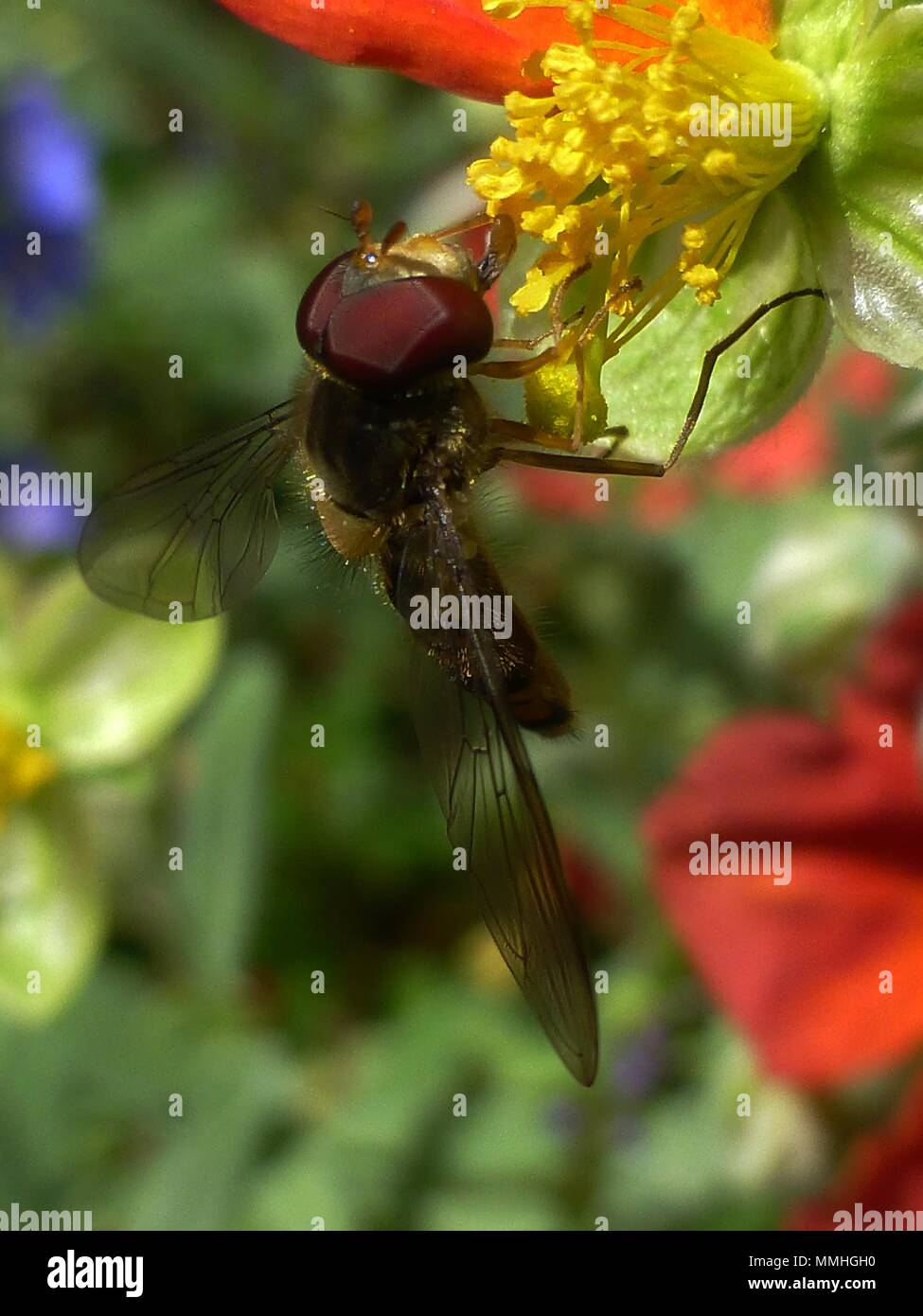 Hover fly on yellow stamen ed red flower stock photo 184783004 alamy hover fly on yellow stamen ed red flower mightylinksfo