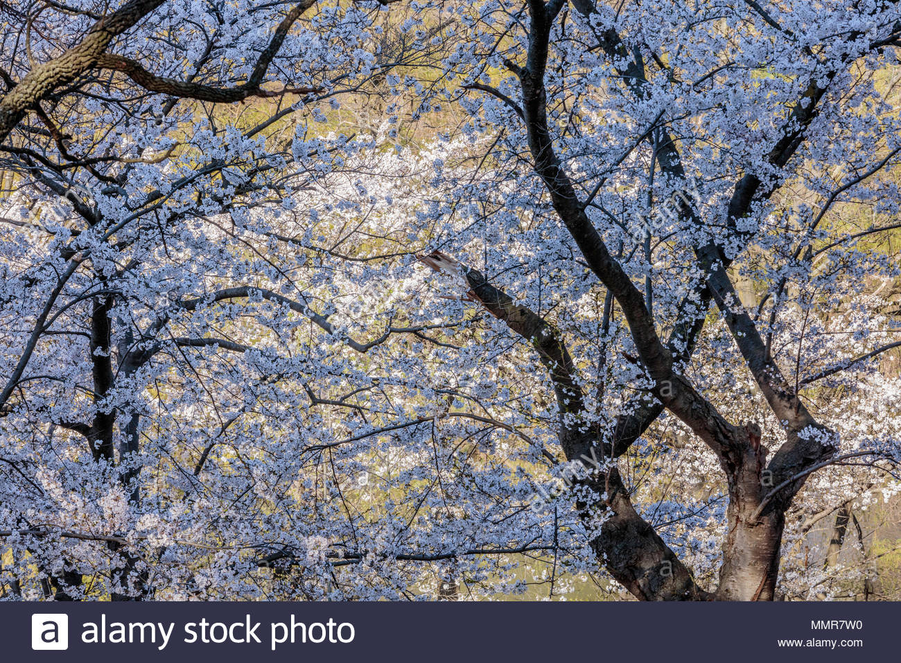 sakura-cherry-trees-somei-yoshino-blosso