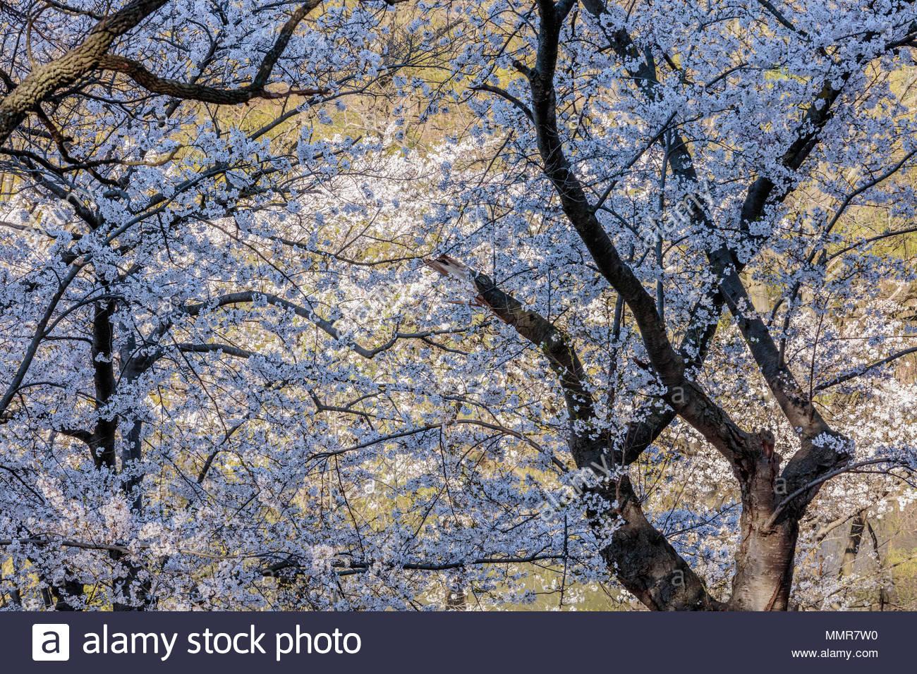 sakura-cherry-trees-somei-yoshino-blosso
