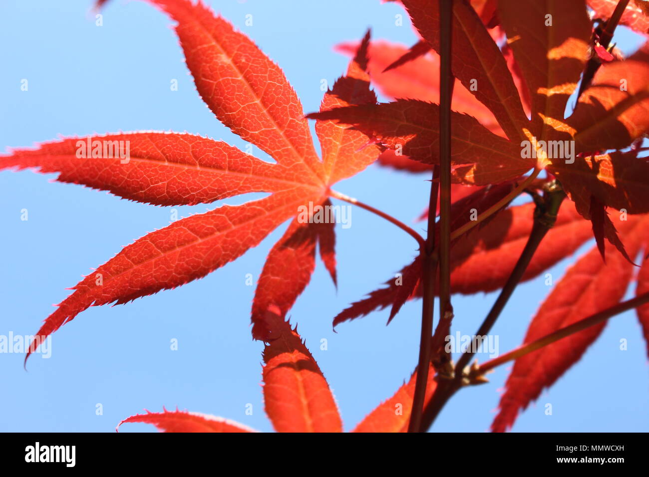 Photograph of acer leaves, japanese maple tree. Beautiful red and orange foliage against a summer blue sky Stock Photo