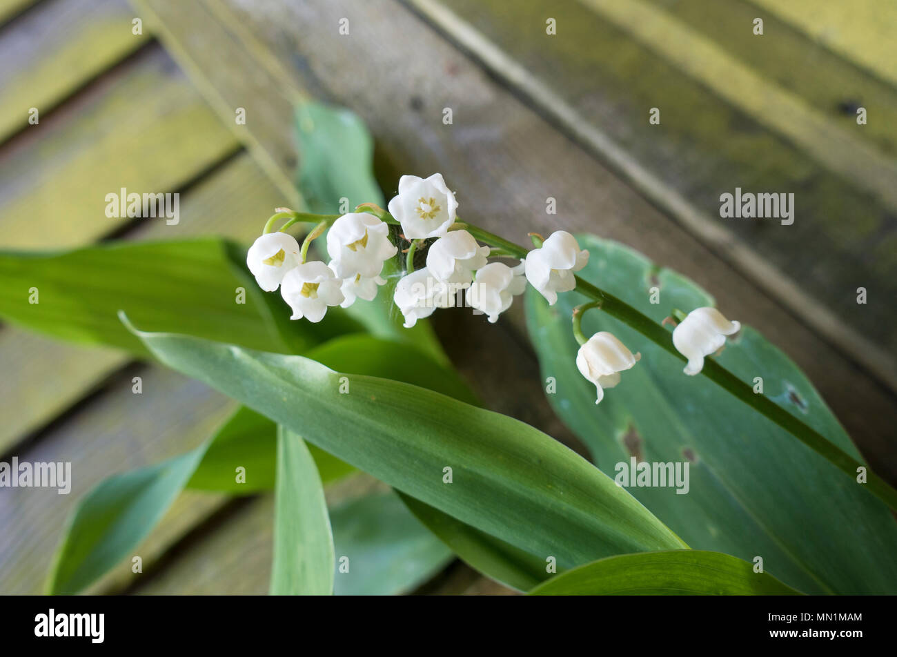 lily-of-the-valley-MN1MAM.jpg