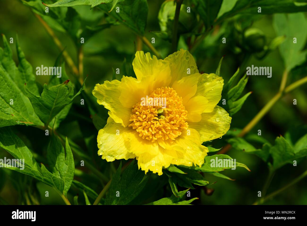 Yellow Tree Peony Flower Stock Photo 185073754 Alamy
