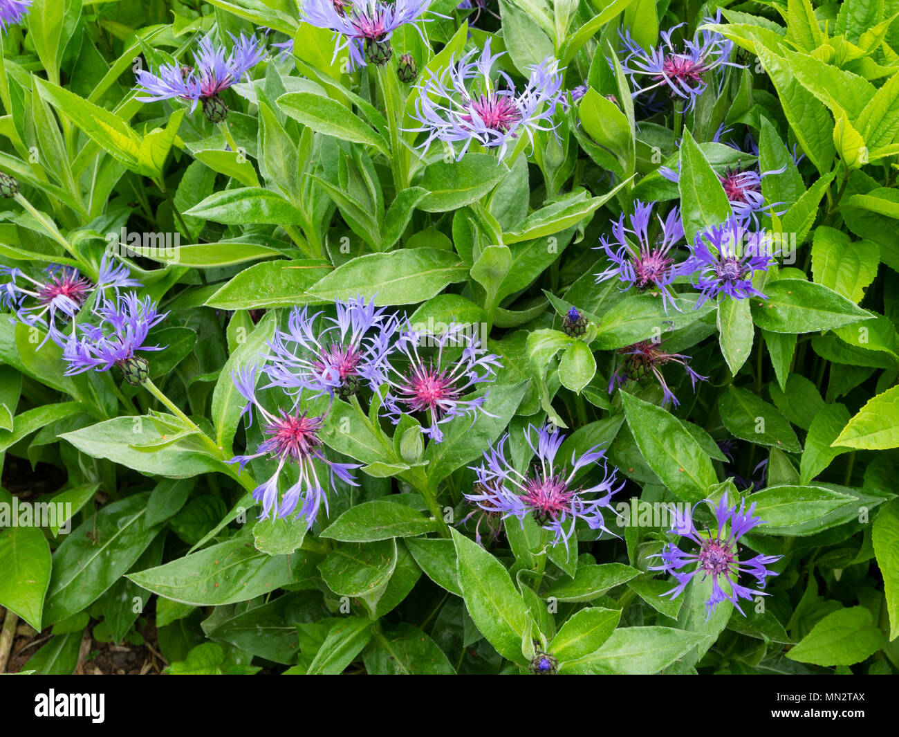 Blue Flowers With A Reddish Center Of The Cottage Garden Perennial