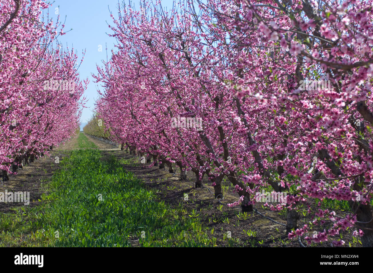 Almond Trees Covered In Blooming Pink Flowers Grow In Rows In The